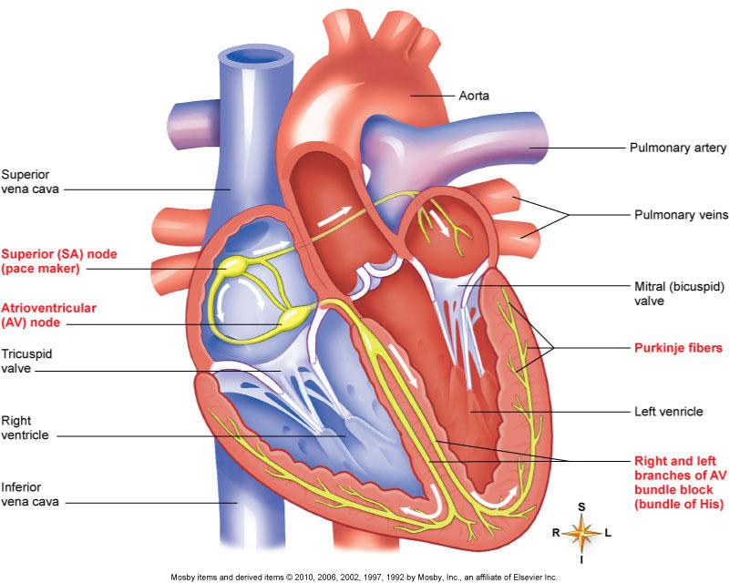 Heart Diagram John Klock